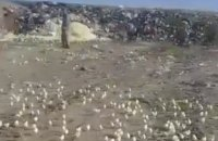 В Грузии из выброшенных на свалку бракованных яиц вылупились сотни цыплят