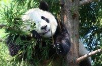 П'ятнична панда #105