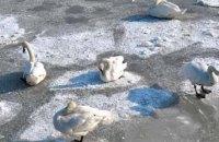 Активисты освободили 70 лебедей, которые примерзли ко льду в Житомирской области (ОБНОВЛЕНО)