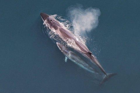 Япония возобновляет китобойный промысел