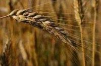 Кабмин намерен ввести квоту на продажу пшеницы