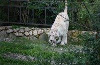 Тигра, який напав на людину у Тбілісі, ліквідовано