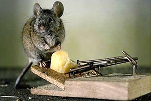 Росії не вистачає пасток для мишей на українських сирзаводах