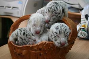 Тигрюля привела потомство