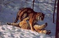 Интерпол и Всемирный банк занялись защитой тигров
