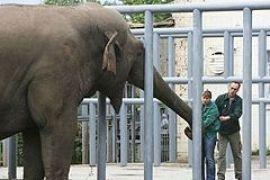 Комиссия: слона Боя все-таки отравили