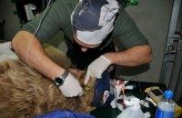 У ведмедиці, яку забрали з бродячого цирку, виявили цироз печінки