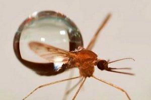 Ученые объяснили полет комаров во время дождя