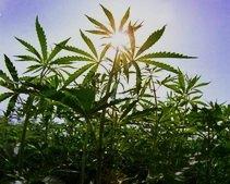 Легализировать марихуану ни в коем случае нельзя, - Бахтеева