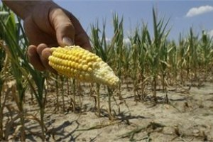 Мінагрополітики побоюється за врожай кукурудзи