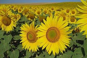 Украина занимает второе место в мире по производству подсолнечника