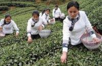 Чай подорожчає на 15% через неврожай