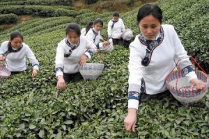 Індія вирішила зробити чай національним напоєм