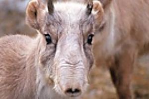 Биологи-охотоведы обсудят проблему сохранения популяции сайгака