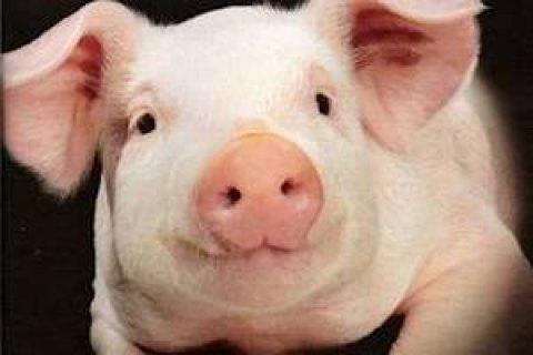 Через африканську чуму свиней в Одеській області закрилося сто свиноферм