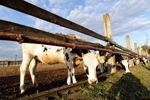 Канада буде продавати Україні корів