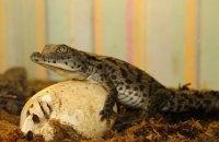 У Харківському зоопарку вилупилися дитинчата нільських крокодилів