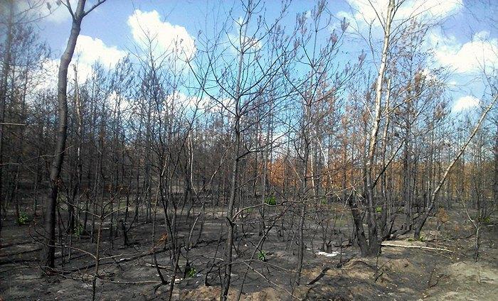 Вигорілий ліс в Станично-луганському районі
