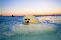 Гренландские тюлени, на которых активно охотятся в Канаде, оказались на грани уничтожения