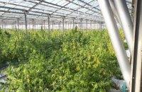 На Прикарпатті в теплицях виростили марихуани на 50 млн євро