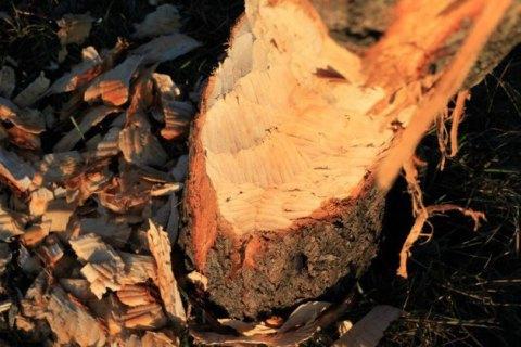 """В киевском парке """"Победа"""" проснулся бобер и начал грызть деревья"""