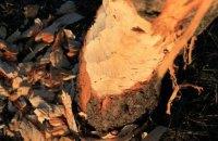"""У київському парку """"Перемога"""" прокинувся бобер і почав гризти дерева"""