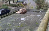 У Луцьку чоловік викинув собаку з 9-го поверху