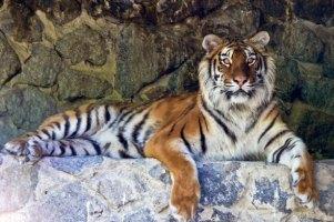Ученые помогут спасти бенгальских тигров