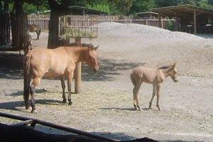 В Киевском зоопарке проведут «Крестины жеребенка»