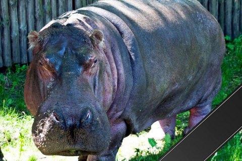 У Київському зоопарку помер найстаріший бегемот у світі