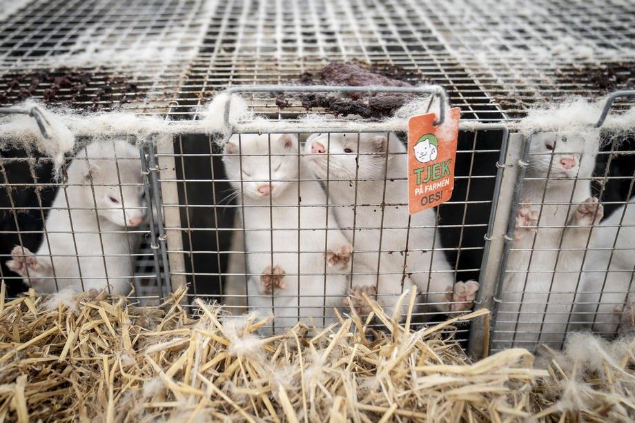 Hорки на фермі поблизу Нешвед, Данія, 06 листопада 2020 р.