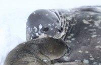 """На станції """"Академік Вернадський"""" в Антарктиді народився тюлень"""