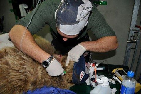 У медведицы, которую забрали из бродячего цирка, обнаружили цирроз печени