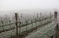 Сильные морозы уничтожают французские виноградники: в правительстве бьют тревогу