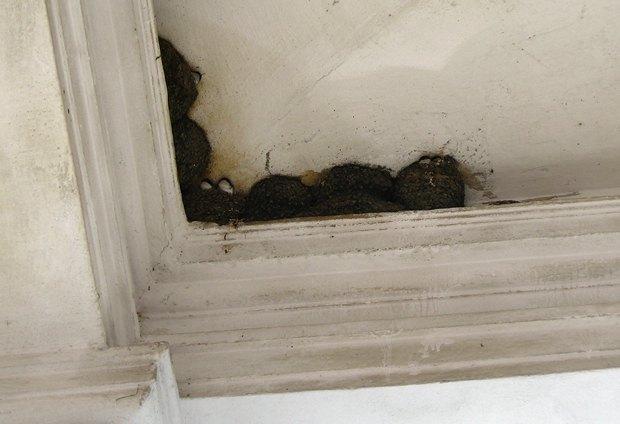 По контрасту с помпезностью ансамбля – спрятанные под крышей портика гнезда ласточек