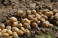 Три головних правила вирощування картоплі