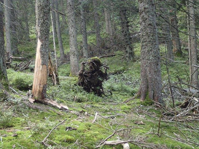 Високогірні ліси Свидовецького масиву