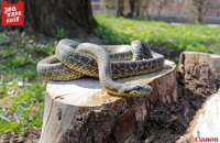 У Києві на дитячому майданчику знайшли рідкісну неотруйну змію