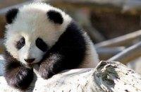 Пятничная панда #35