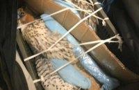"""В аэропорту """"Борисполь"""" в чемодане украинца обнаружили трех соколов"""