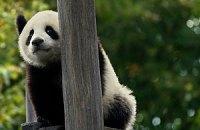 П'ятнична панда #104