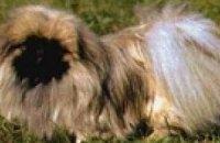Ученые нашли гены, определяющие внешний вид шерсти собак