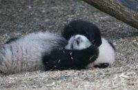 П'ятнична панда #106