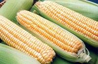 Кукуруза впервые станет основой урожая зерновых