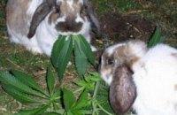 Немка несколько лет кормила кроликов коноплей
