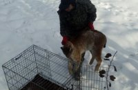 В Житомире на территории медцентра поймали раненую рысь