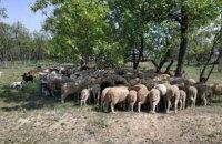 В Одеській області чоловік викрав стадо овець