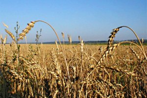 Ціни на пшеницю впали нижче за психологічну позначку