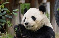 П'ятнична панда #99
