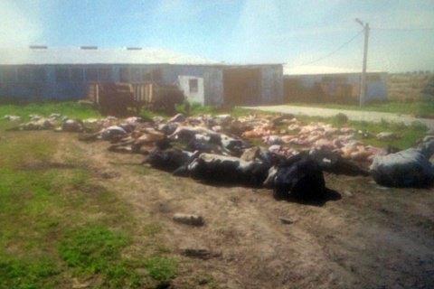 На фермі в Хмельницькій області за ніч померло 88 корів